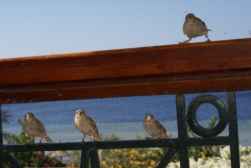 Отдых в Египте. Шарм Эль Шейх, Melia Sinai